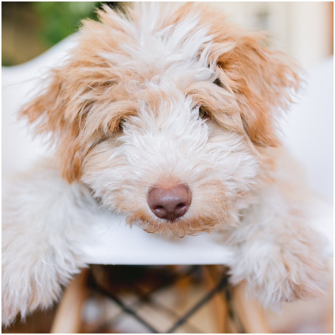 Mini Aussiedoodle puppy named Kodak in St Louis Missouri and part of Pattengale Photography wedding team