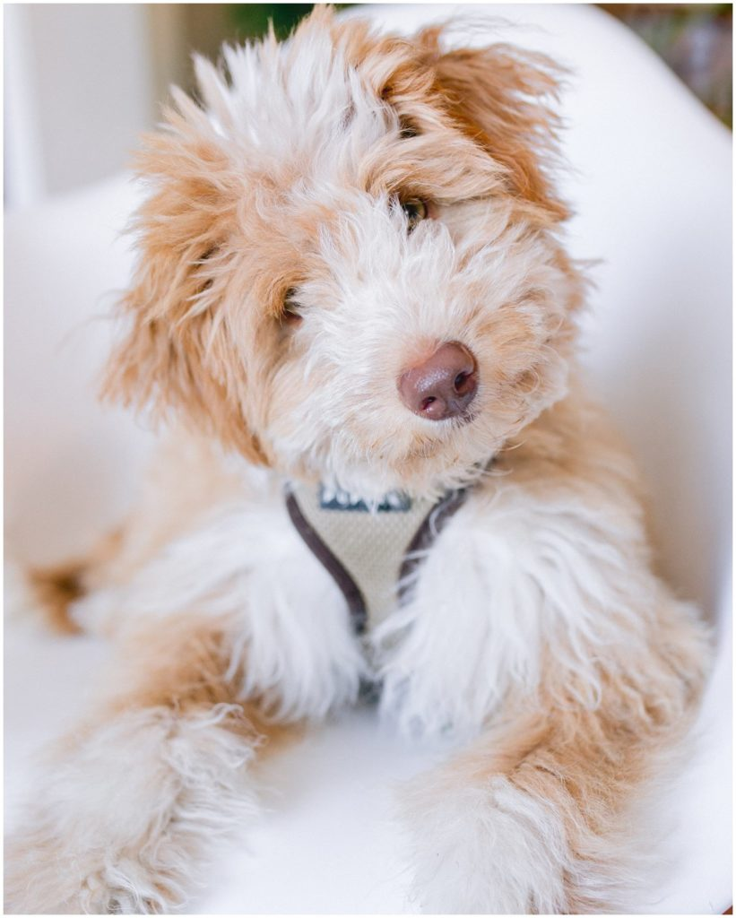 Mini Aussiedoodle Puppy named Kodak - Part of the Pattengale Photography team based in St Louis, Missouri
